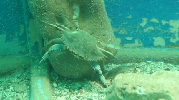 Atlantischer Blauer Krebs (callinectes sapidus) auf der Insel Korfu (Griechenland))
