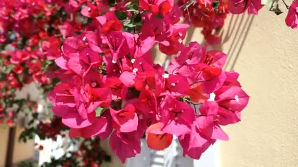 Bougainvillea blossom at Corfu Island (Greece). Visiting village Afionas