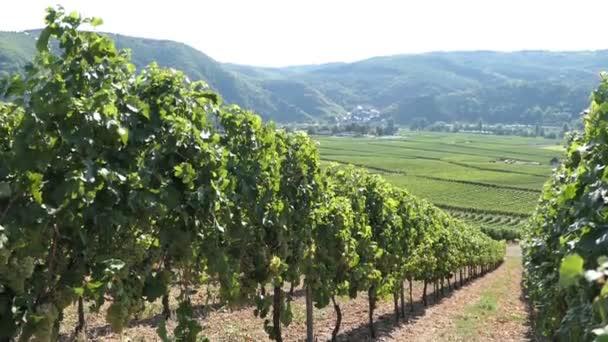 Vinice v údolí řeky Mosely s výhledem do vesničky Beilstein (Německo)