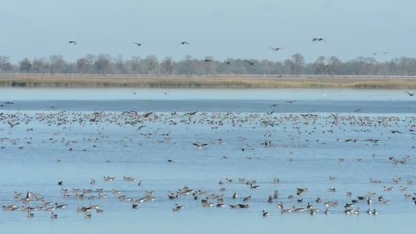 Eine Gruppe Graugans fliegt und ruht sich auf einem See aus. Herbstliche Vogelzugsaison in der Region Havelland. (Deutschland)