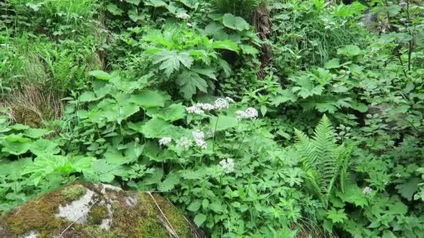 Typická alpská vegetace močového měchýře a Masterwortu (Peuedanum ostruthium)