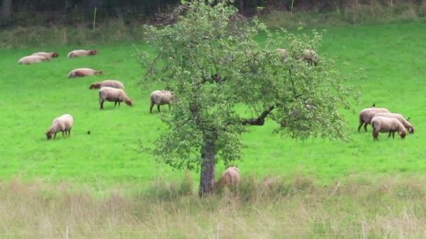 stádo ovcí pasoucích se na Schalkenmehrener Maar jezero louky v německém eifel regionu.
