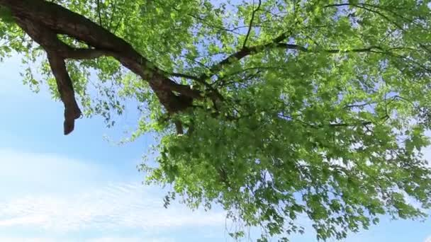 maple tree with green leaves against blue sky.