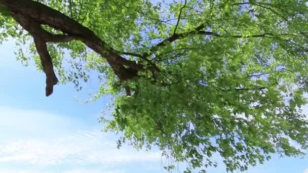 javor se zelenými listy proti modré obloze.