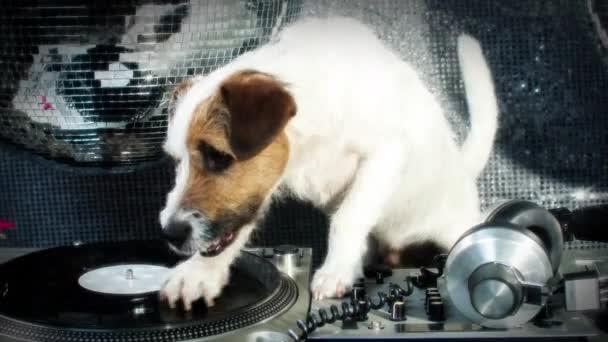DJ kutya karcolás. egy aranyos jack russell kutya DJ egy diszkó beállítása