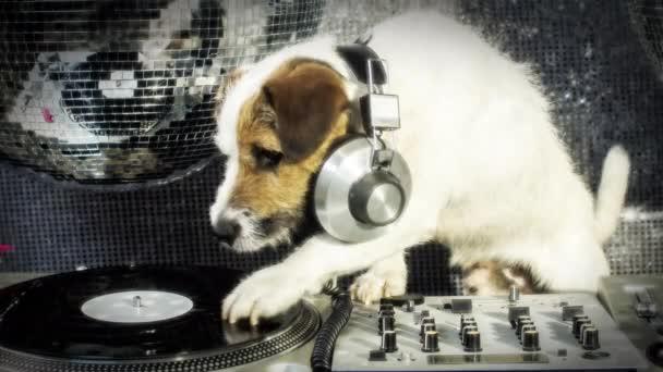 DJ pes škrábání. roztomilý jack russell pes djing v disco, nastavení