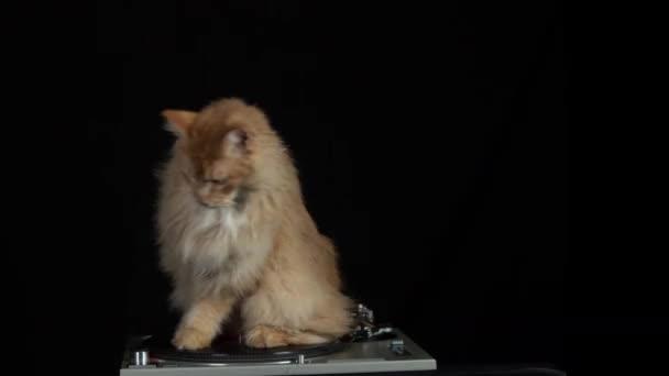 gyönyörű cool disco macska körül forog a rekord lemezjátszó