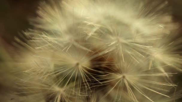 Makro felvételek a magvakba hullott pitypang virágról