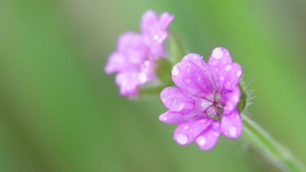 violet field flowers moving by wind in garden