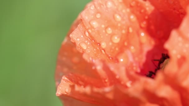 világos piros mák virág mező