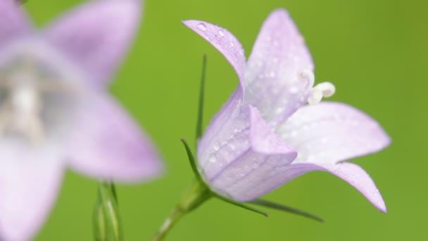Selektivní fokus krásné fialové květy s vodou kapky pohybující se vítr v poli