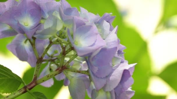 Detailní pohled krásné malé hortenzie květin a trávy, pohybující se v divoký vítr