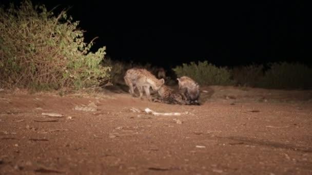tourists feeding hyenas at night in ethiopia, africa