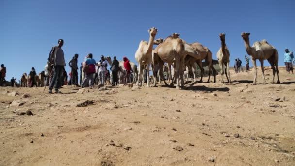 ETHIOPIA, BABILE - CIRCA DECEMBER 2017: unidentified people in the dromedary market in ethiopia