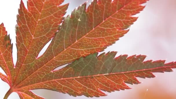 background with red maple leaf on wind