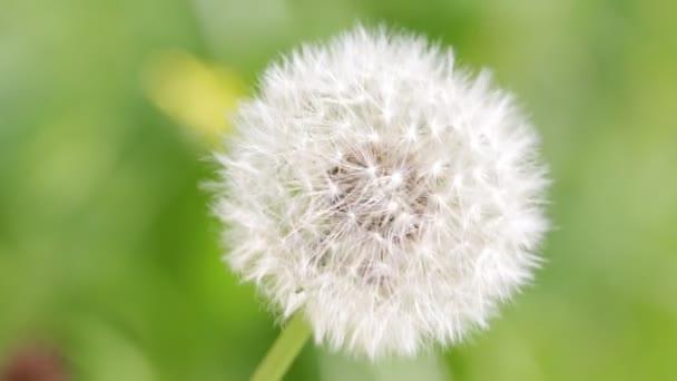 Detailní záběry krásná Pampeliška květin na rozmazané pozadí zelené