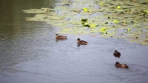 krásný rybník s lekníny žluté a kachny poblíž letiště mallard, Itálie