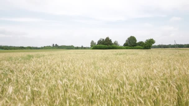 wheat moving during windy weather in field