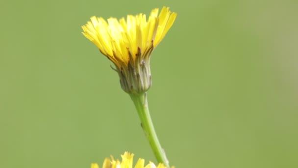 beautiful yellow dandelion flowers moving by wind in wild green field
