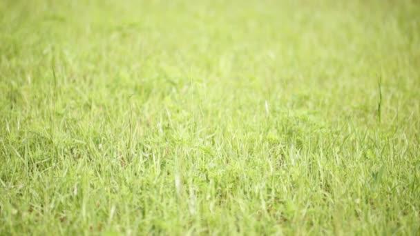 zöld fű a szél területen mozgó