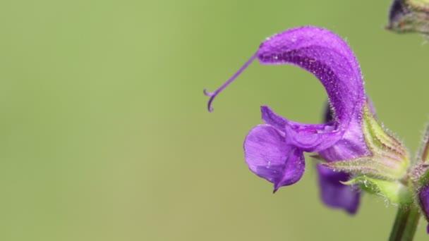 lila virágok mozgó szeles idő, zöld háttér