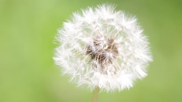 közeli felvétel, szép pitypang virág homályos zöld háttér