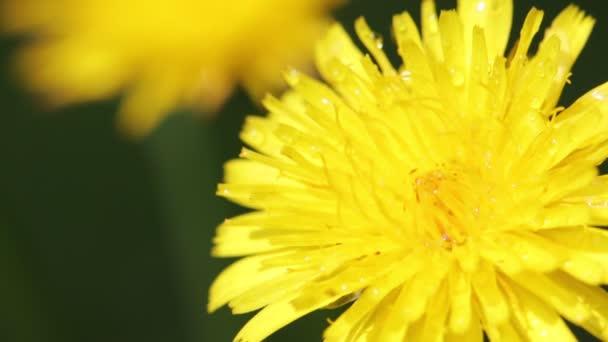 Selektivní fokus kvetoucí žluté pampelišky květiny pohybující se vítr v poli