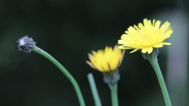 krásné rozkvetlých žlutých pampelišek květy pohybující se vítr v poli