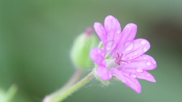 one violet flower with water drops moving by wind in garden