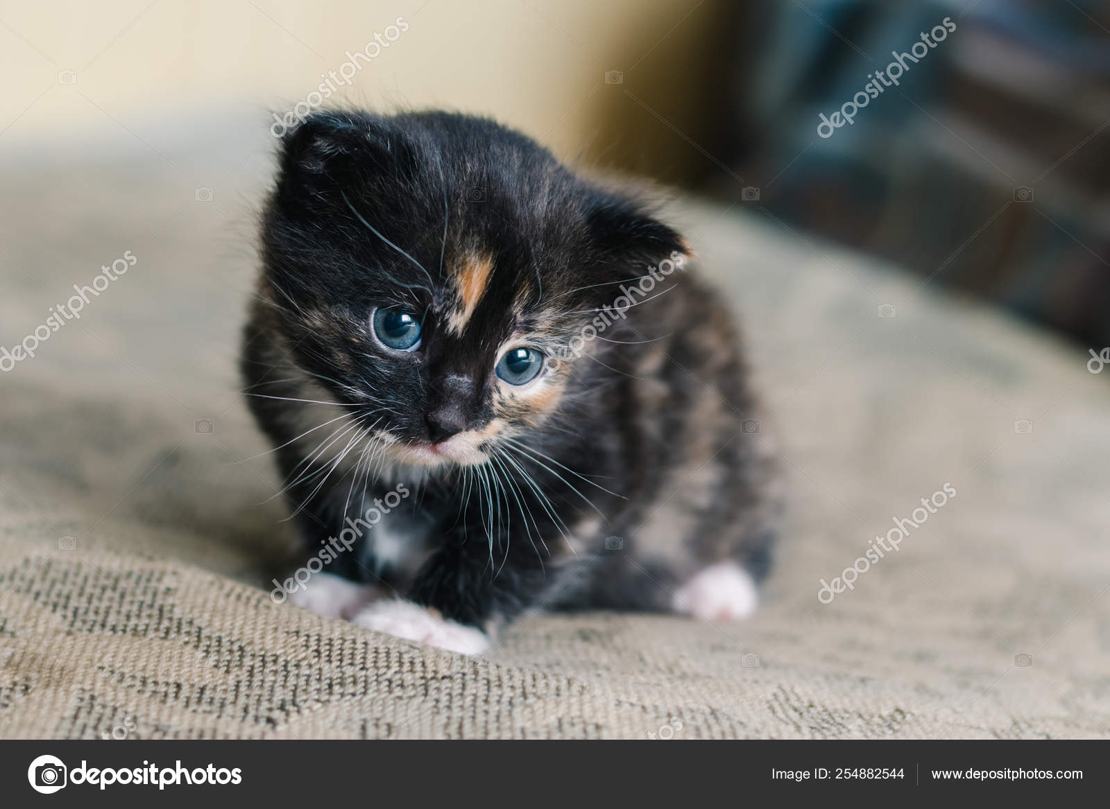 Little Beautiful Black Cat White Red Spots Blue Eyes Sofa Stock Photo C Marynatrusava 254882544