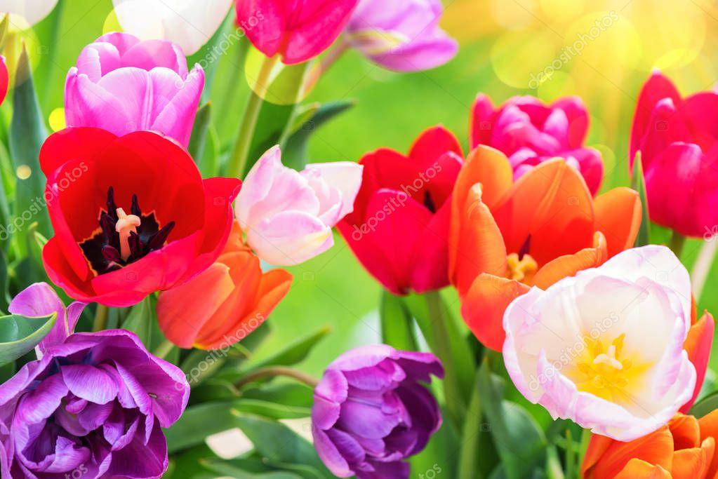 Bouquet of beautiful multicolor tulips. Nature background