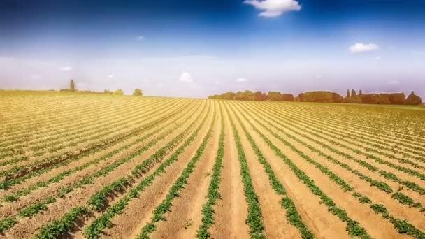 Zemědělský pozemek s klíčky brambor. Letecký pohled
