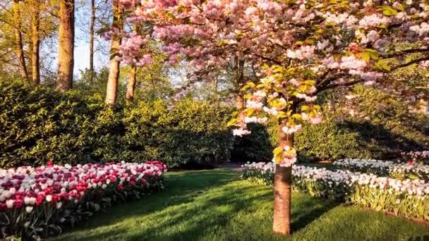 Jarní krajina s kvetoucí třešňovou větví a vícebarevných tulipány, 4k