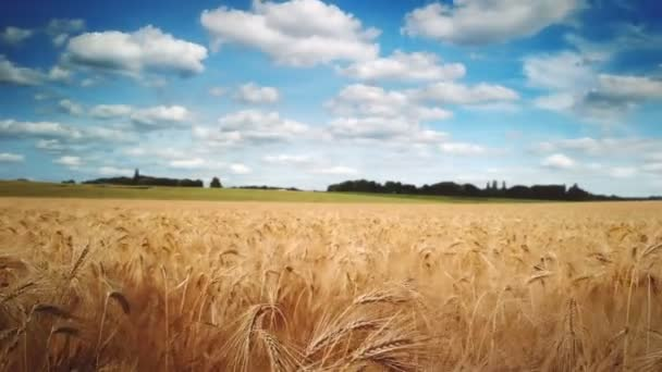 scenic footage of beautiful wheat field under moving clouds