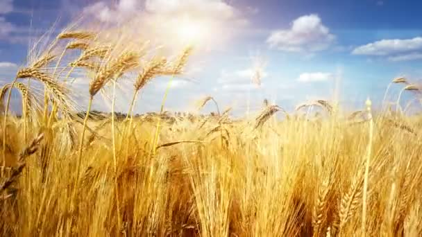 Mezőgazdasági táj aranybúzafölddel, 4k. Természetvédelmi háttér