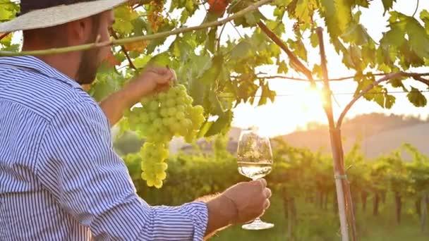 Muž se sklenkou bílého vína. Osoba mezi vinicemi Itálie při západu slunce. Sklizeň hroznů na farmě v Toskánsku. Sluneční záře v rámu, selektivní ostření.