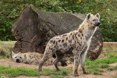 two spotted hyenas in natural habitat