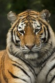 Photo Siberian tiger (Panthera tigris altaica), also known as the Amur tiger.
