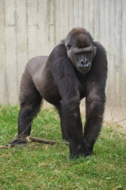 Western lowland gorilla walking on grass