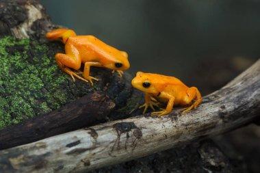 Golden mantella (Mantella aurantiaca). Wild life animals