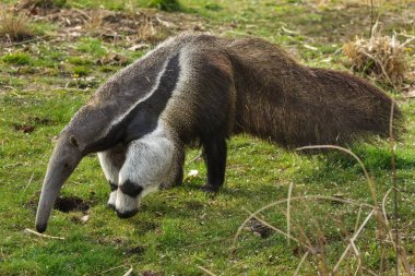 Giant anteater (Myrmecophaga tridactyla), also known as the ant bear.