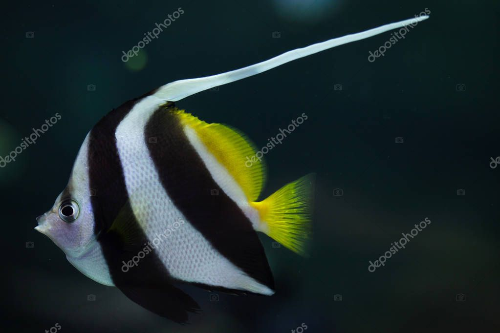 Pennant coralfish, also known as the reef bannerfish or coachman.