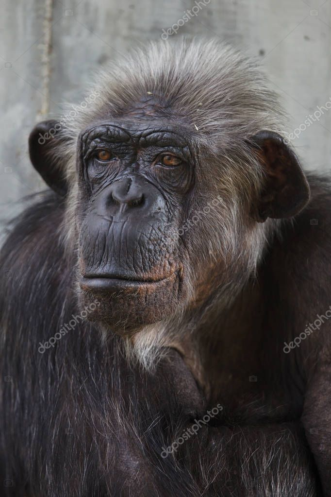 Common chimpanzee, also known as the robust chimpanzee.