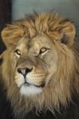 Leone (Panthera leo). Animale di vita selvaggia.