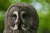Fotografia Grande gufo grigio. Fauna selvatica uccello.