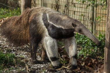 Giant anteater also known as the ant bear.