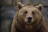Brown bear (Ursus arctos).