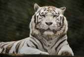 Bianca tigre (Panthera tigris tigris).