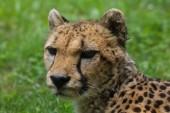 Cheetah (Acinonyx jubatus).