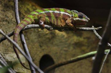 Panther chameleon (Furcifer pardalis).